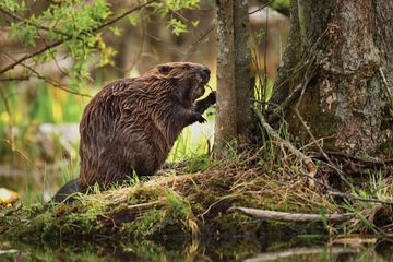 Got an environmental problem? Beavers could be the solution
