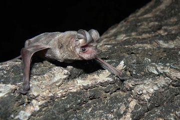 A new Ebola species has been found in bats in Sierra Leone