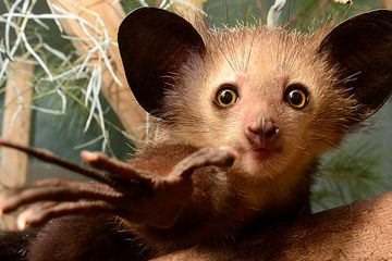 A fossil mistaken for a bat may shake up lemurs' evolutionary history