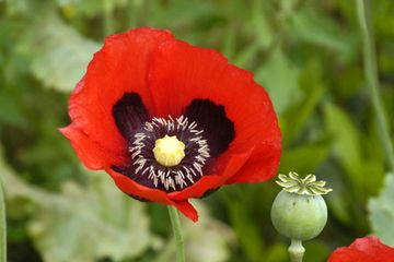 How the poppy got its pain-relieving powers