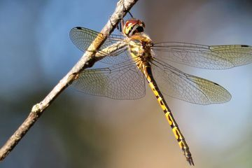 How math helps explain the delicate patterns of dragonfly wings