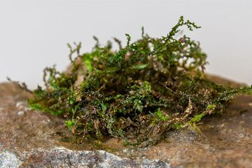 Liverwort plants contain a painkiller similar to the one in marijuana