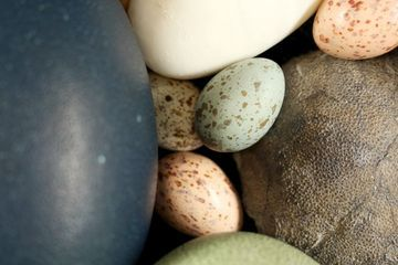 Eggs evolved color and speckles only once — during the age of dinosaurs