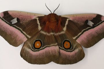 Sound-absorbent wings and fur help some moths evade bats