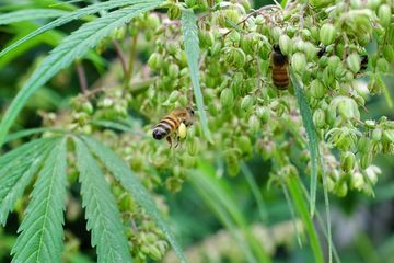 Hemp fields offer a late-season pollen source for stressed bees