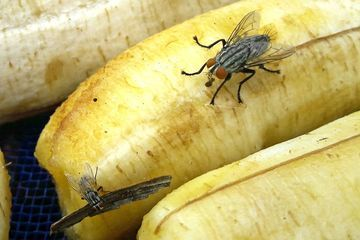 Climate change could increase foodborne illness by energizing flies