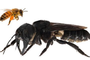 The world's largest bee has been rediscovered after 38 years