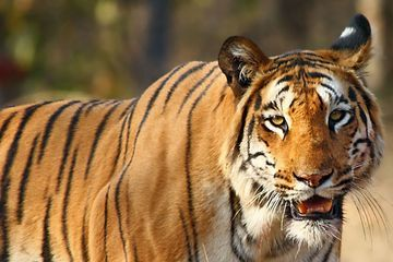 How a tiger transforms into a man-eater