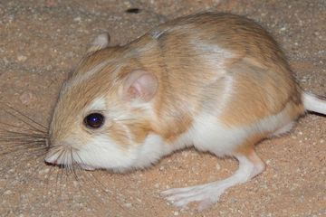 Watch a desert kangaroo rat drop-kick a rattlesnake