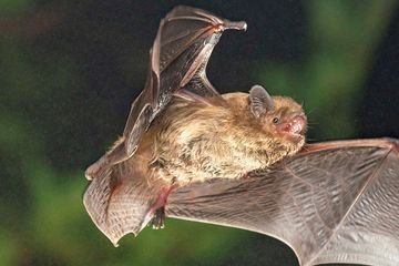 A scientist used chalk in a box to show that bats use sunsets to migrate