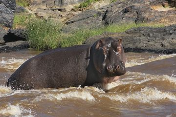 Hippo poop cycles silicon through the East African environment