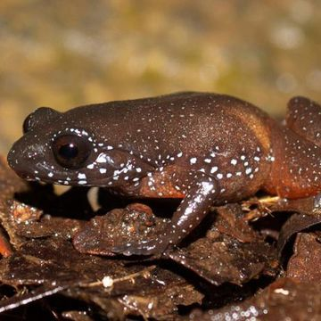 Meet India's starry dwarf frog — a species with no close relatives