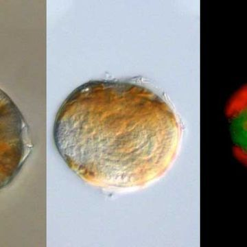 A marine parasite's mitochondria lack DNA but still churn out energy