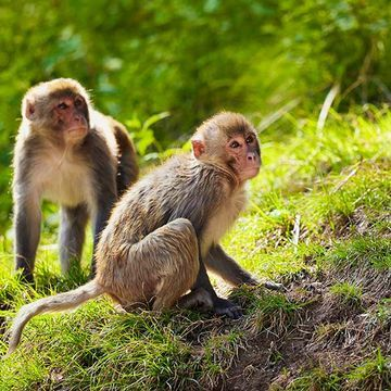 Monkeys can use basic logic to decipher the order of items in a list