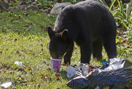 Bears that eat 'junk food' may hibernate less and age faster
