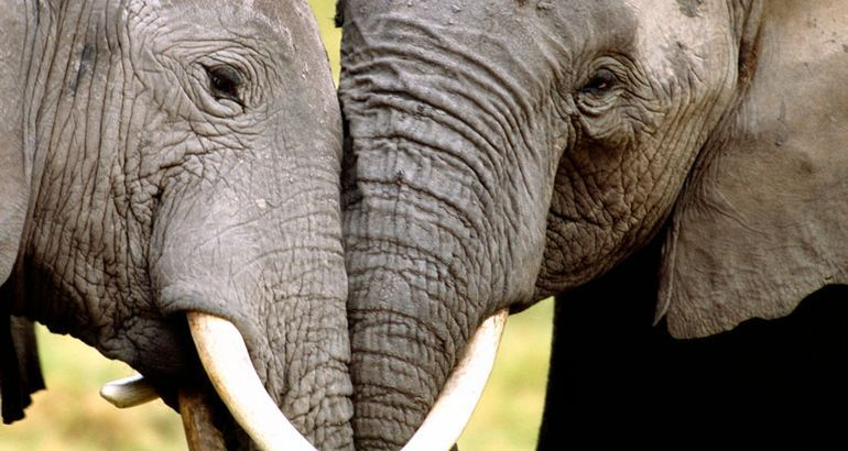 DNA from seized elephant ivory unmasks 3 big trafficking cartels in Africa